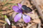 HSNP Hot Springs Mt Trail Summer Azure Butterfly Pink Oxalis