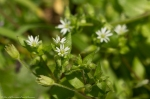HSNP Peak Trail Chickweed