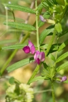 HSNP Peak Trail Everlasting Pea