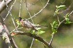 HSNP Tufa Terrace Trail Juvenile Robin