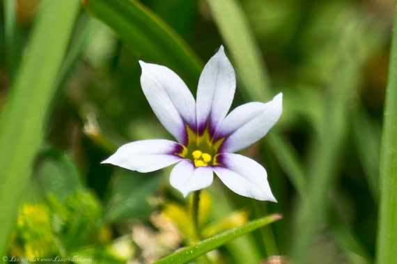 HSNP Carriage Road Annual blue-eyed grass