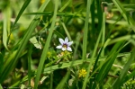 HSNP Carriage Road blue-eyed grass