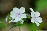 HSNP Floral Trail Bi-Color Phlox