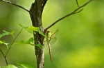 HSNP Hot Springs Mt Trail Common Green Darner Dragonfly