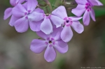HSNP Hot Springs Mt Trail Pink Phlox