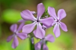 HSNP Short Cut Trail Bi-Color Pink Phlox