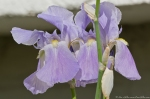 HSNP West Mt Purple Iris