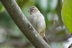 HSNP Arlington Lawn Juvenile Female House Sparrow