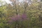 HSNP Arlington Lawn Redbud Tree