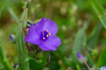 HSNP Fountain St Lawn Spiderwort