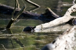 HSNP Ricks Fordyce Pond Turtle