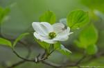 HSNP Promenade Dogwood Blossoms