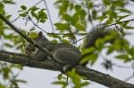 HSNP Promenade Juvenile Squirrel