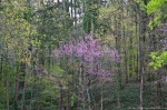 HSNP Fountain St Lawn Redbud Tree