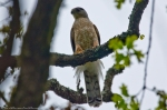 HSNP Short Cut Trail Juvenile Peregrine Falcon