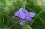 HSNP Fordyce Estate Sunset Trail Spiderwort