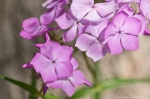 HSNP Fordyce Estate Sunset Trail Pink Phlox