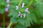 HSNP Hot Springs Mt Trail Deadnettle
