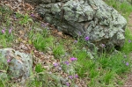 HSNP Hot Springs Mt Trail Spring Wildflowers Spiderwort