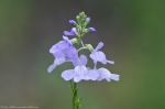 HSNP Hot Springs Mt Trail Pagoda Lawn Blue Toadflax