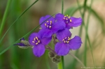HSNP Fordyce Estate Sugarloaf Mt Sunset Trail Spiderwort