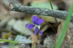 HSNP Fordyce Estate Sunset Trail Wooly Blue Violet