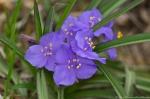 HSNP Gulpha Gorge Trail Spiderwort