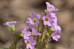 HSNP Gulpha Gorge Trail Pink Oxalis