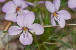 HSNP Hot Springs Mt Trail Birds Foot Violet