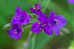 HSNP Music Mt Sunset Trail Spiderwort