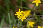 HSNP Goat Rock Trail Yellow Star Grass
