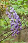 HSNP Hot Springs Mt Road Wild Wisteria