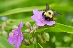 HSNP Tufa Terrace Trail Bumble Bee On Spiderwort