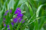 HSNP Hot Springs Mountain Trail Spiderwort