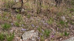 HSNP Goat Rock Trail Violets and Spiderwort