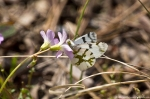HSNP Goat Rock Trail Olympia Marble Butterfly on Oxalis