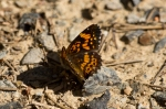 HSNP North Mt Loop Pearl Crescent Butterfly
