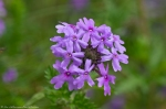 HSNP Goat Rock Trail Rose Verbena