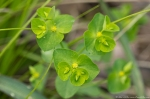 HSNP Goat Rock Trail Wood Spurge