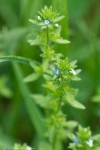 HSNP Goat Rock Trail Corn Speedwell