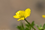 HSNP North Mt Loop Buttercup