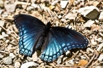 HSNP Upper Dogwood Trail Red Spotted Purple Butterfly