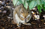 HSNP Arlington Lawn Juvenile Female Squirrel