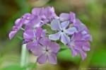 HSNP Floral Trail Pink Phlox