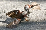 HSNP Fountain St Battling Male House Sparrows
