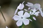 HSNP Peak Trail Lavender Phlox