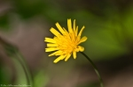 HSNP Peak Trail Potato Dandelion