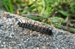 HSNP Tufa Terrace Trail Buck Moth Caterpillar