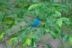 HSNP Hot Springs Mt Trail Blue Grosbeak