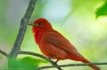 HSNP Upper Dogwood Trail Juvenile Summer Tanager